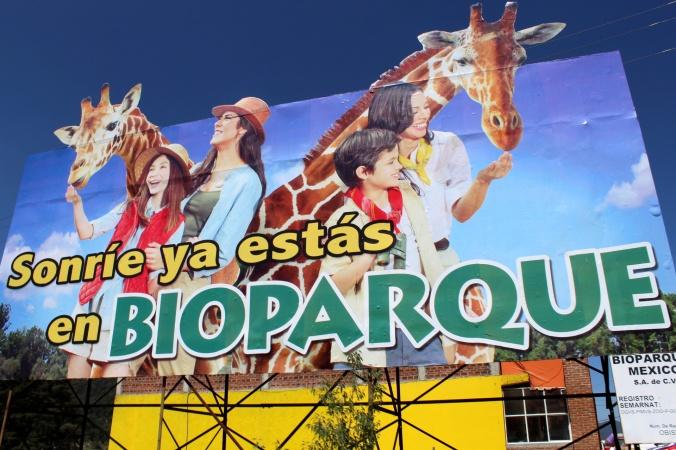 Rafa la jirafa. Bioparque estrella. Jilotepec. Mexico. Estado de Mexico