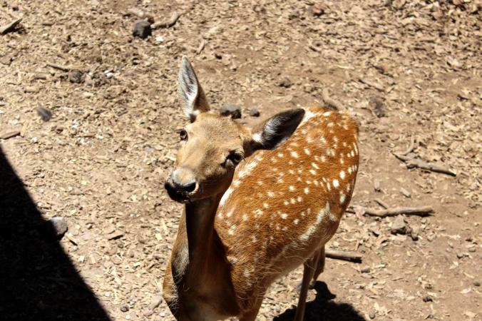 Ciervo. Rafa la jirafa. Bioparque estrella. Jilotepec. Mexico. Estado de Mexico